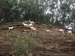67 почти горные козы